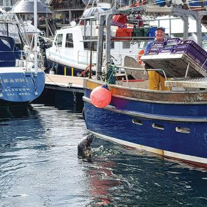 A cheeky harbour seal and happy fishermen in the busy port of Mallaig on mainland Scotland.