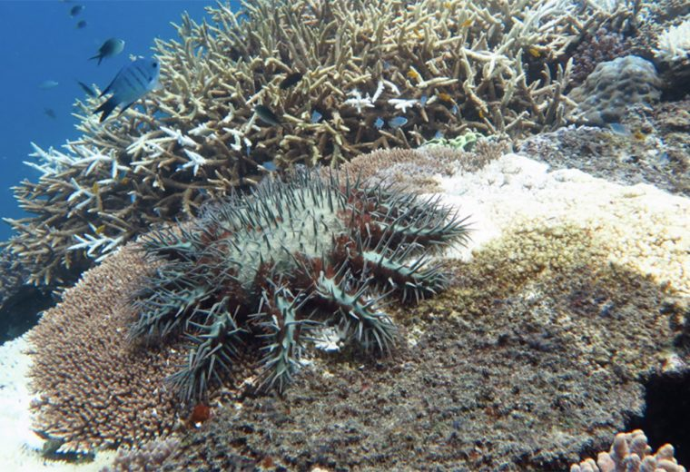 Stick 'em up: new test can detect crown-of-thorns starfish as quickly as a home pregnancy kit