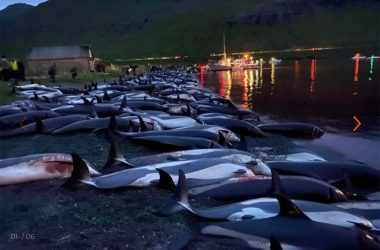 1428 Dolphins Slaughtered in the Faroe Islands